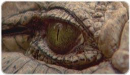 مستند کروکدیل ها - Crocodiles