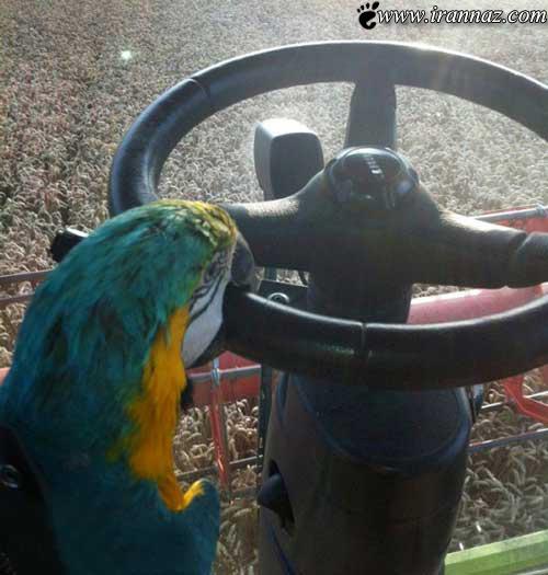 طوطی سخن گو این بار رانندگی می کند!! (عکس)