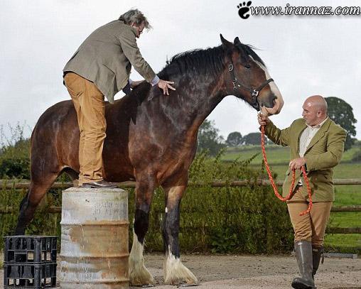عکس های شگفت انگیز از بلند قد ترین اسب دنیا