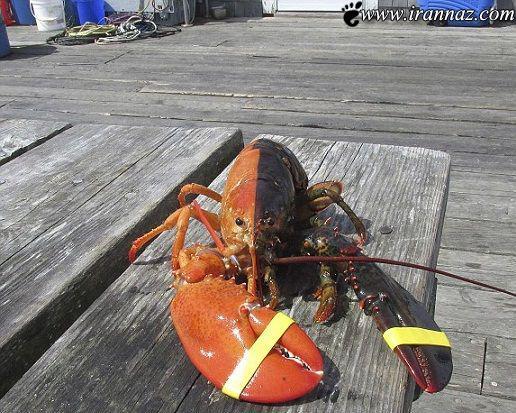 عکس های باورنکردنی از خرچنگ غول پیکر
