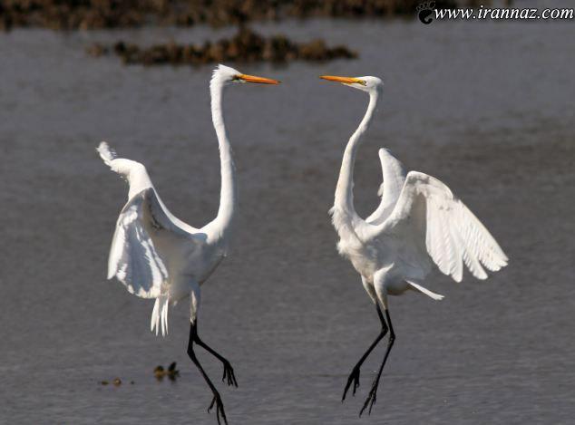 ستیز مرغان دریایی بر روی دریای پهناور (عکس)
