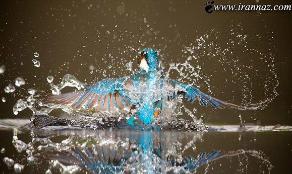تصاویر باورنکردنی مرغ ماهی خوار شکارچی