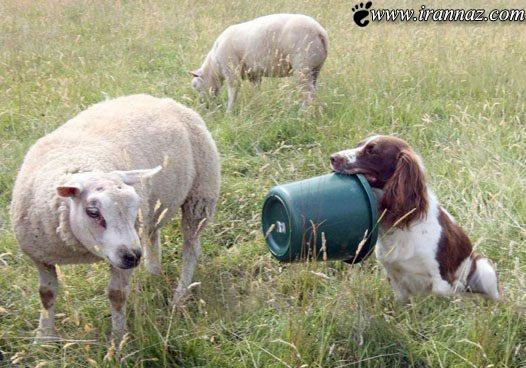 سگی که تعدادی گوسفند را فرزندی پذیرفت (عکس)