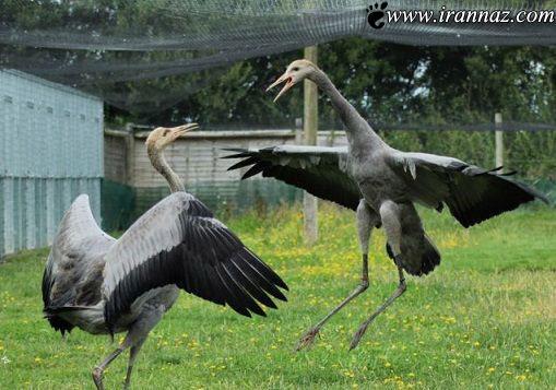 عکس های بسیار جالب از پرندگان کونگ فو کار (عکس)