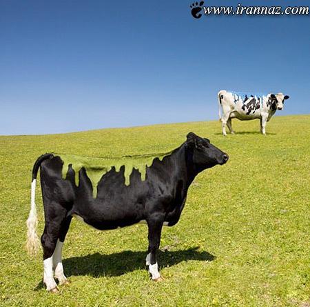 عکس های شگفت انگیز از نقاشی روی گاوها