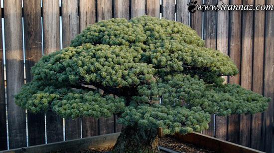 درخت بسیار زیبا که با انفجار اتمی نابود نشد (عکس)