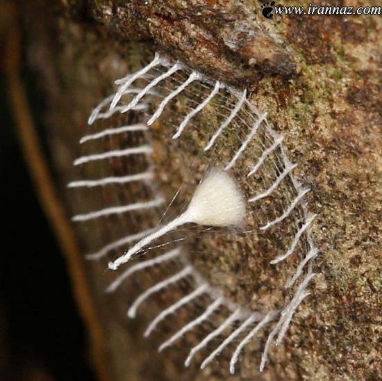 عجیب و غریب ترین لانه ی از یک حشره (عکس)