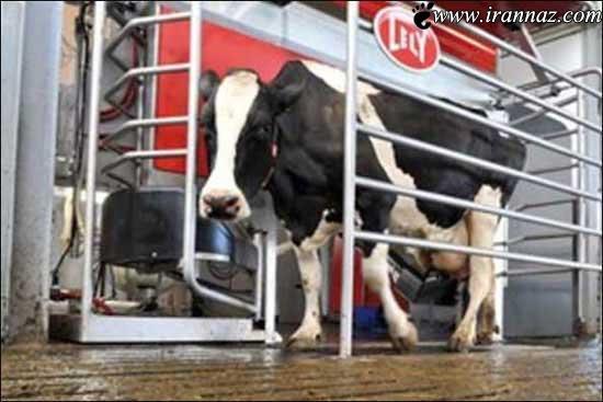 نسل جدید عجیب و باورنکردنی گاوهای 2013 (عکس)
