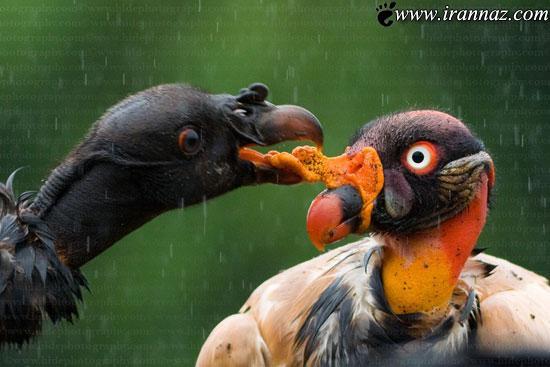 عکس های بی نظیر و زیبا از شاه کرکس رنگارنگ