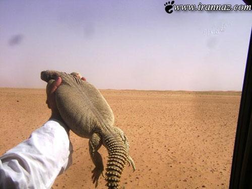 زنی که مهریه اش 100 سوسمار است (عکس)