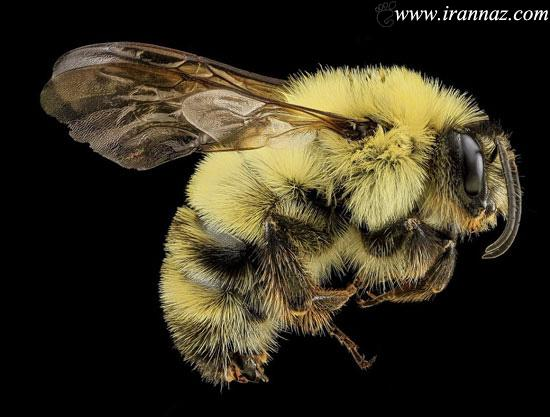 ترسناک ترین زنبور های پشمالو (عکس)