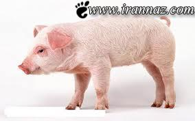 عمل جراحی بااستفاده از مثانه ی یک خوک (عکس)