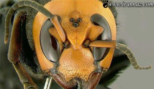 خطرناکترین نوع زنبور که قاتل 19 نفر است (عکس)