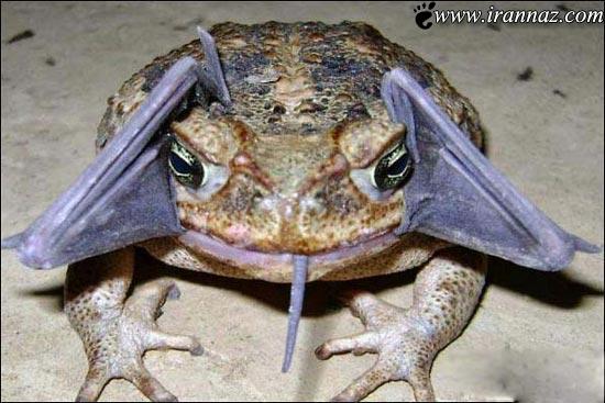 خوردن خفاش و تلاش مصرانه برای آن (عکس)