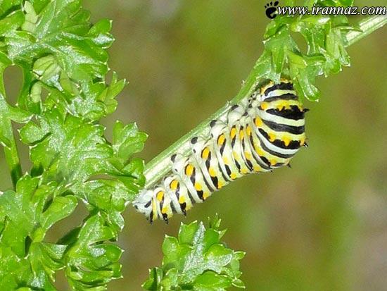 عکس های دیدنی از لحظات تبدیل شدن کرم به پروانه