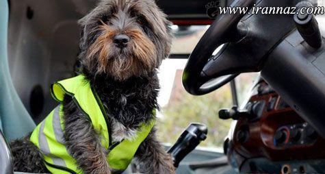 سگی که رانندگی کامیون را بر عهده دارد (عکس)