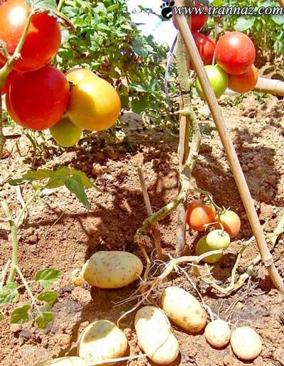پیوند بسیار عجیب سیب زمینی و گوجه فرنگی (عکس)