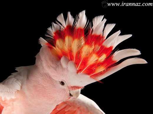 طوطی بهشتی واقعی دراسترالیا دیده شد (عکس)