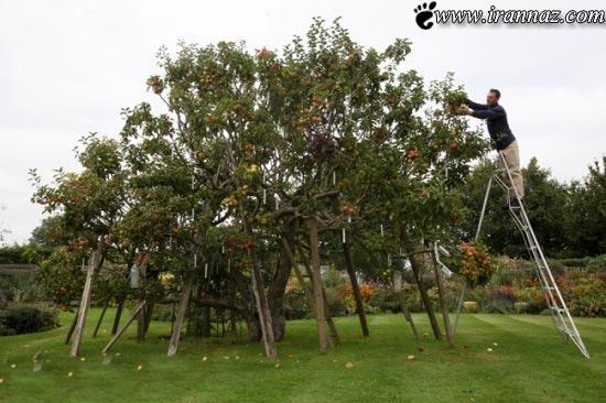 درخت سیبی با 250 نوع سیب رنگارنگ (عکس)