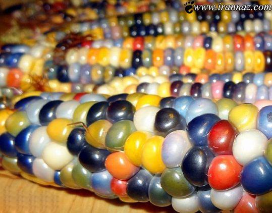 ذرت هایی که مانند رنگین کمان است (عکس)
