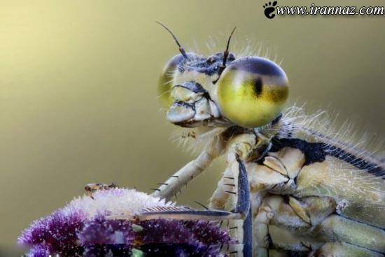 عکسهای باورنکردنی از سنجاقک های عاشق