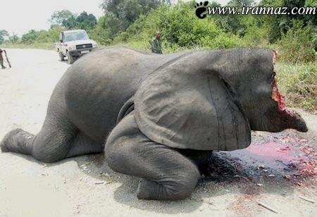 کشتن فیلی به طور وحشیانه درخیابان (عکس)