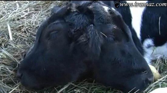 خبر شوکه کننده ی تولد گاو دوسر در آمریکا (عکس)