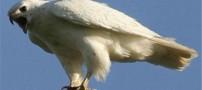 عقاب سفید 2.2 میلیاردی به فروش رسید (عکس)