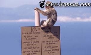 میمونی که به دخترک 4 ساله حمله کرد (عکس)