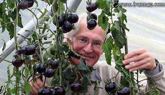 کاشت گوجه فرنگی سیاه در انگلیس (عکس)