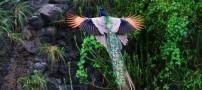 پرواز باورنکردنی و بسیار جالب این طاووس (عکس)