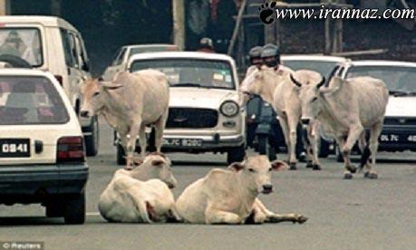 این مردم بخاطر این گاو ها کور شدند (عکس)