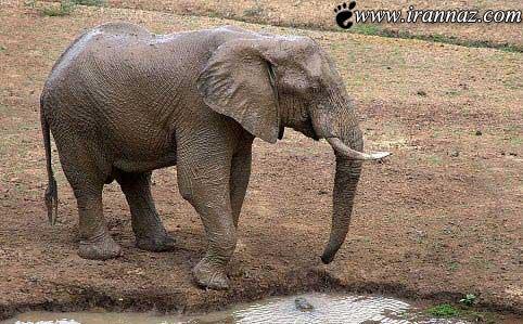شوخی بچه تمساح با فیل سوژه ی همگان شد (عکس)