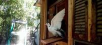 کبوتر های تعلیم دیده برای جابجایی قاچاق (عکس)