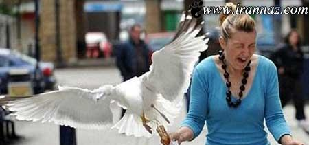 عکس هایی از پرندگان بستنی دزد در انگلیس