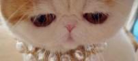گربه که با زیبایش در دنیا طوفان به پا کرد (عکس)