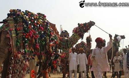 مسابقه ی زیباترین شتر دنیا برگزار شد (عکس)