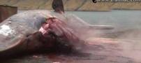 منفجر شدن نهنگ را با چشم خود ببینید (عکس)