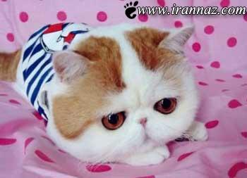 این گربه ی ملوس شما را عاشق خود میکند (عکس)