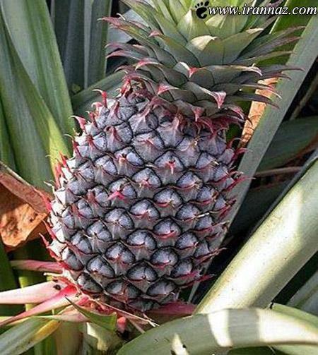 این آناناس گرانقیمت همه را حیرت زده کرد (عکس)