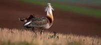 میش مرغ یک جانور حیرت آور و جالب (عکس)