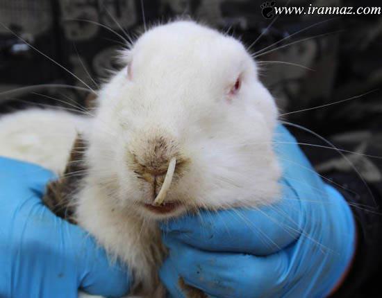 دندانهای ترسناک این خرگوش همه را ترساند (عکس)