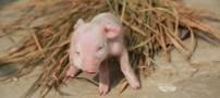 تولد خوک 3 چشم همه را شوکه کرد (عکس)