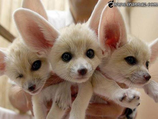 عکس هایی از روباه عجیب و غریب ولی زیبا
