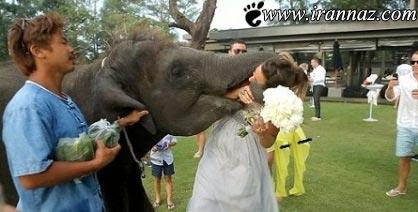 ترسیدن این عروس خانم بخاطر شوخی این فیل (عکس)