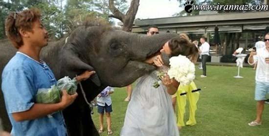 شوخی این فیل با این تازه عروس او را ترساند (عکس)