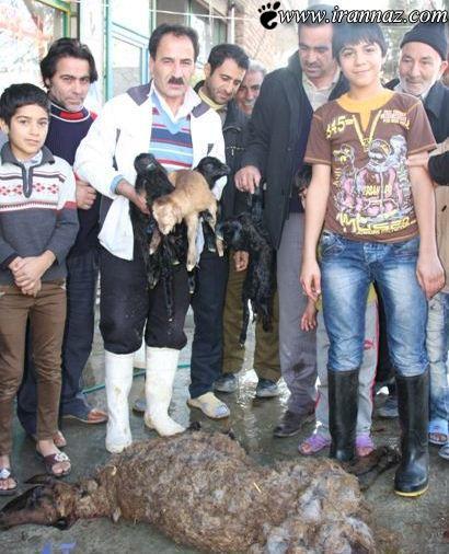 این گوسفند سر بریده شده چهار قلو زایید!! (عکس)