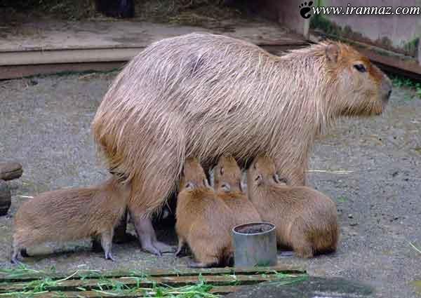 عکس های جالب و دیدنی از حس مادرانه در حیوانات