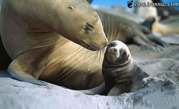 عکس های بسیار جالب از حس زیبای مادرانه در حیوانات