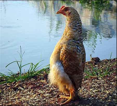 مرغ مغروری که فکر می کند یک پنگوئن است (عکس)